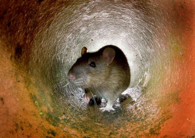 A rat in the a pipe, in London. Ageing sewers, insufficient garb