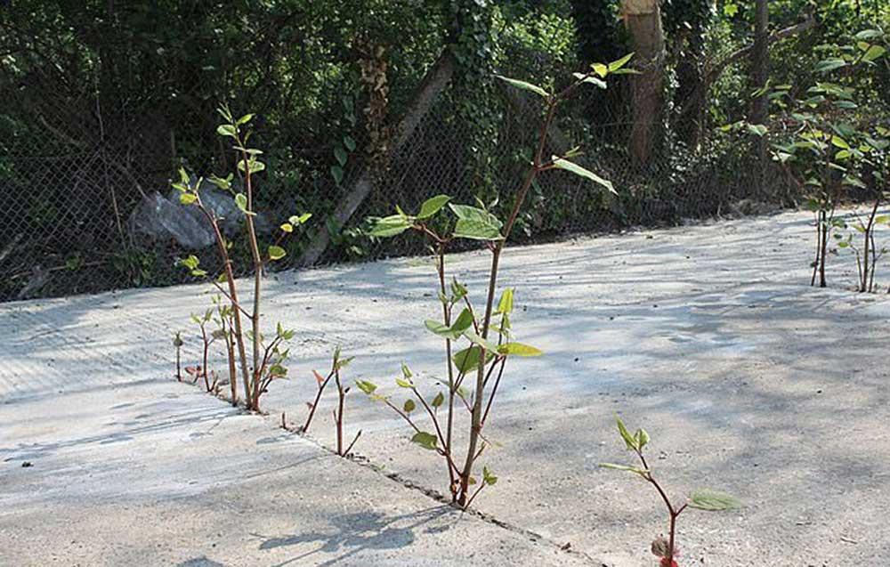 Горец японский – растение, из-за которого вам могут отказать в ипотеке